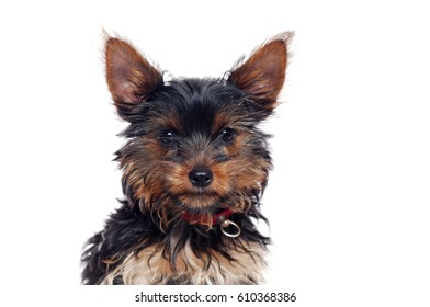 Closeup portrait of a Yorkshire Terrier puppy