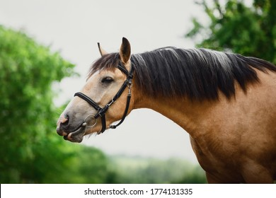 closeup portrait of young draft gelding horse in bridle on sky and trees background in summer