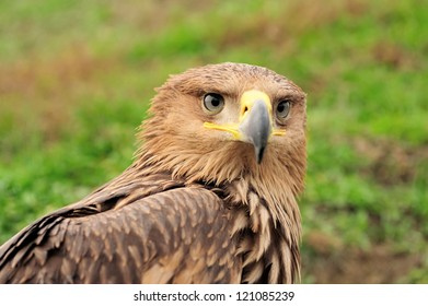 Closeup portrait young eagle in grass
