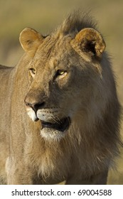 Close-up portrait of young male lion; Panthera leo