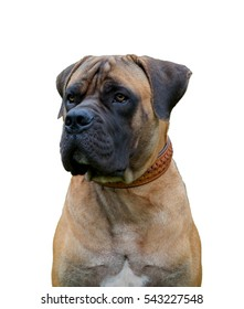 Closeup portrait. Young puppy (age five months) of dog breed South African Boerboel (South African Mastiff - rare breed dogs.) on a white background, isolated