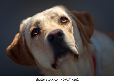 Closeup portrait of a young yellow Labrador retriever dog looking up with sun falling over its head