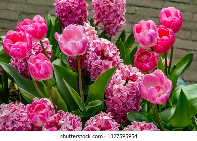 Closeup of a Pot Filled with Beautiful Pink Tulips and Hyacinths in a Country Garden outside of Amsterdam, Netherlands