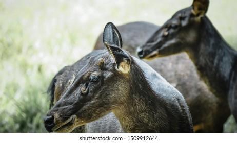 Close-up potrait of Sambar deer or locally known as Payau in Sabah, Borneo. Malaysia. (Selected focus)