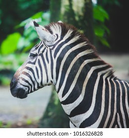 A close-up potrait of zebra with natural background