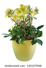 Closeup of potted isolated christmas rose flower
