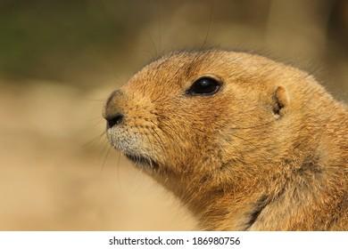 Close-up of a prairie dog
