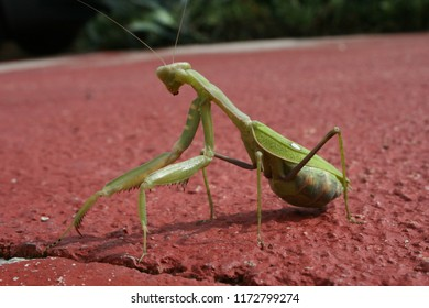 A close-up of a Praying Mantis,  (Mantodea).  Beneficial to farmers since they feed on pests. Females sometimes practice sexual cannibalism, eating their mates after copulation.