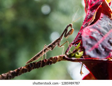 Closeup of a praying mantis sitting on a branch, side view of the insect.