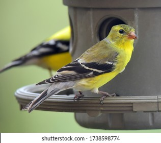 closeup of pretty yellow female american goldfinch at a feeder in a back yard in broomfield, colorado
