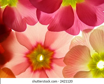 Close-up of primula flower against white background