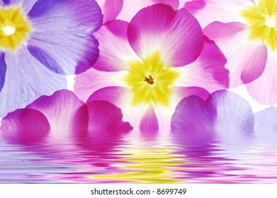 Close-up of primula flowers reflected in water