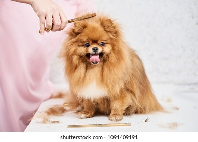 Closeup of professional groomer combing little pomeranian spitz