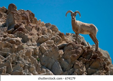 Close-up profile of a bighorn sheep as it surveys its surroundings from the top of a rocky ridge.