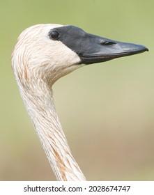 Closeup profile of head and beak of trumpeter swan