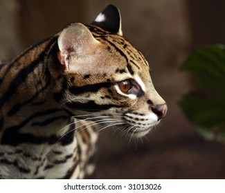 A close-up profile of an ocelot (leopardus pardalis)