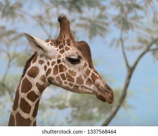 Closeup profile portrait of a giraffe against trees and blue sky