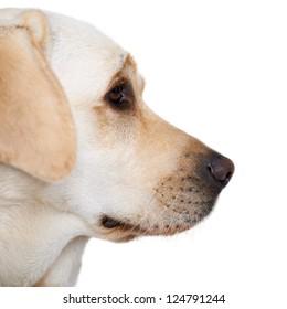 Closeup profile portrait of the head of a golden labrador on a grey studio background