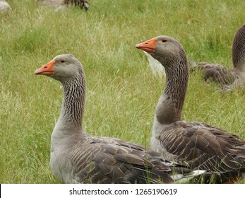 Geese Profile Temaju Kepek Stockfotok Es Vektorkepek