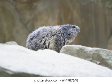 Closeup profile of shy alpine marmot or groundhog