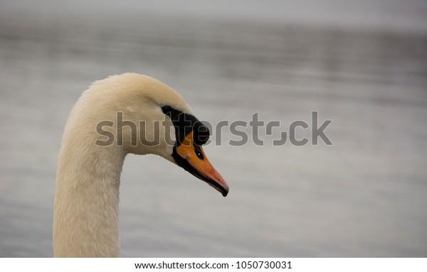 Closeup profile of Swan, head