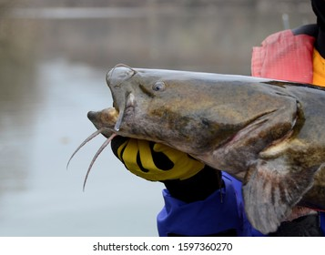 A closeup profile view of a large brown olive colored flathead catfish fish head eyes and barbel whiskers being held horizontally by a gloved hand