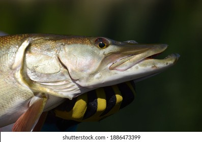 A closeup profile view of a muskie fish head as it is held horizontally by a gloved hand on a sunny day - Shutterstock ID 1886473399