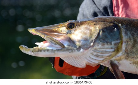A closeup profile view of a muskie fish head as it is held horizontally by a gloved hand on a sunny day - Shutterstock ID 1886473405