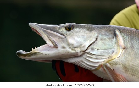 A closeup profile view of a silvery muskie fish eye and head scales as it is held horizontally by a gloved hand on a cloudy day and dark background - Shutterstock ID 1926385268