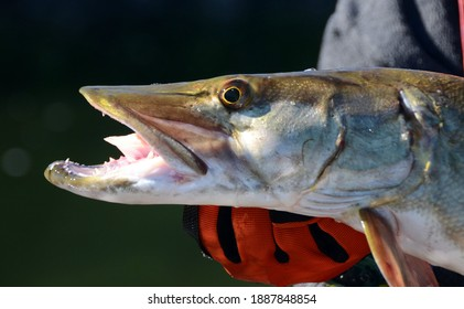 A closeup profile view of a small muskie fish head held horizontally by a gloved hand on a sunny day - Shutterstock ID 1887848854