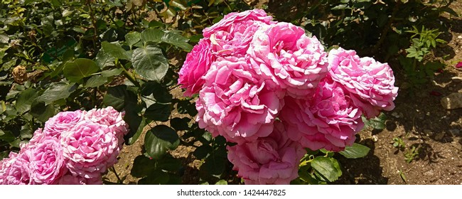 Close-up of prolific cluster of pink roses on a rose bush growing in a rose bed. Flowering rose bush growing in a bed of roses. Cluster of pink roses on a bush of Nikitskij Botanical garden in July.