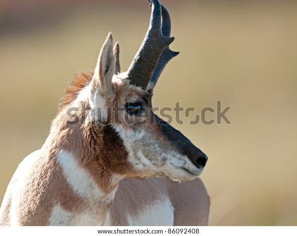Closeup of pronghorn antelope buck in Custer State Park, South Dakota