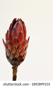 Close-up of a protea flower isolated on a white background