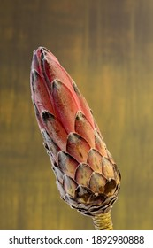 Close-up of a protea flower isolated on a green background