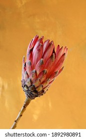 Close-up of a protea flower isolated on a yellow background