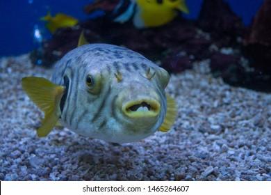 close-up puffer fish, blowfish in fish tank(blured)