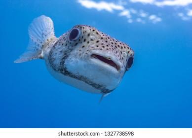 Closeup of pufferfish in clear blue water