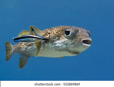 Closeup of a pufferfish (diodon hystrix) being cleaned by cleaner fish (labroides dimidiatus) at cleaning station, Bali, Indonesia