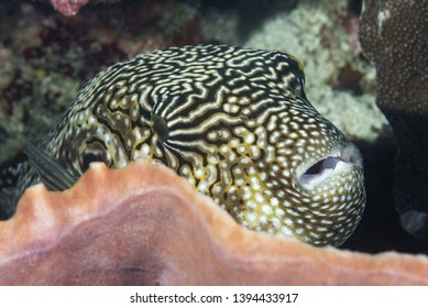 closeup of pufferfish with reef in background