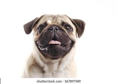 closeup Pug dog