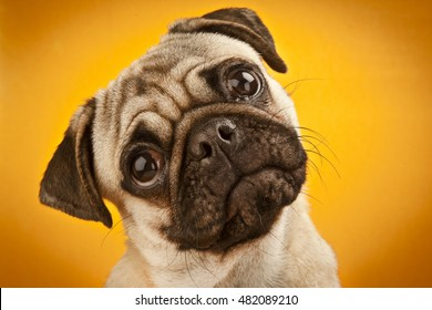 Close-up of Pug emotion on yellow background