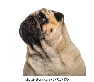 Close-up of a Pug in front of a white background