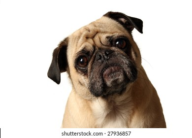 Closeup of a Pug tilting his head and staring at the camera.
