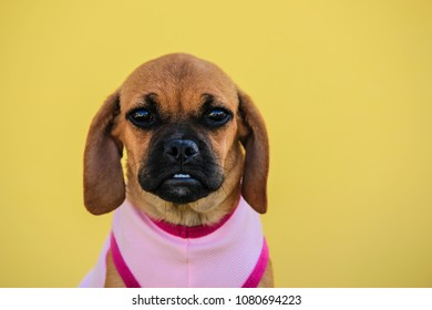 Closeup of a Puggle Puppy Wearing a Pink Shirt in front of a Summer Yellow Background