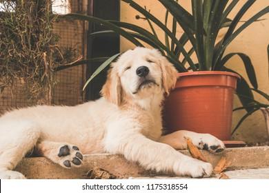 Close-up of a puppy Labrador retriever.Purebred puppy dog