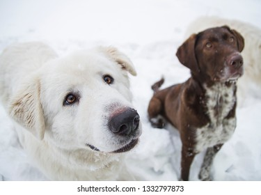 closeup purebred dogs obediently sit on the snow, this is kurtshaar and kuvas