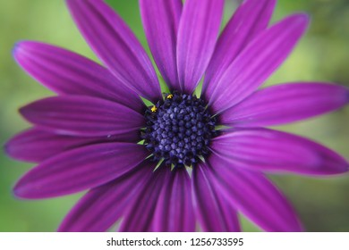 Close-up of purple African Daisy flower in full bloom