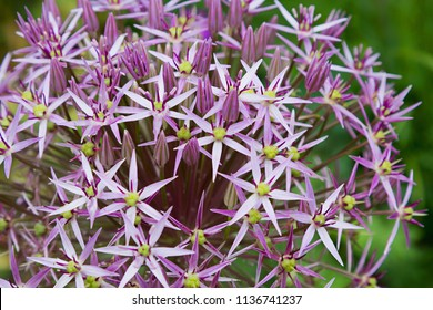closeup of a purple allium blossom