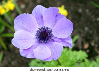 Closeup of purple anemone flower