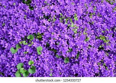 Closeup of purple Bellflowers or Campanula flowers with green leaves in the park outdoor.  Beautiful spring blossom under sunlight in the garden and nature background at spring or summer season.